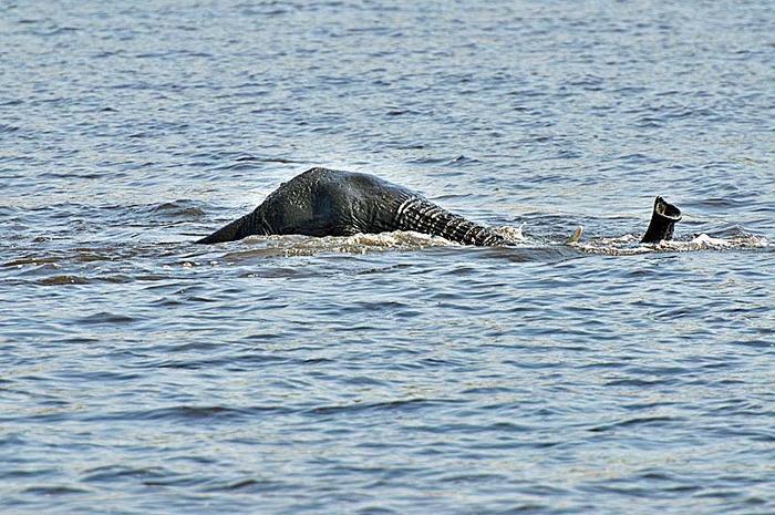 Name:  swimming-elephant.jpg Views: 123 Size:  79.9 KB