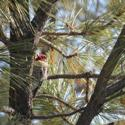 Name:  Red Naped Sapsucker.jpg