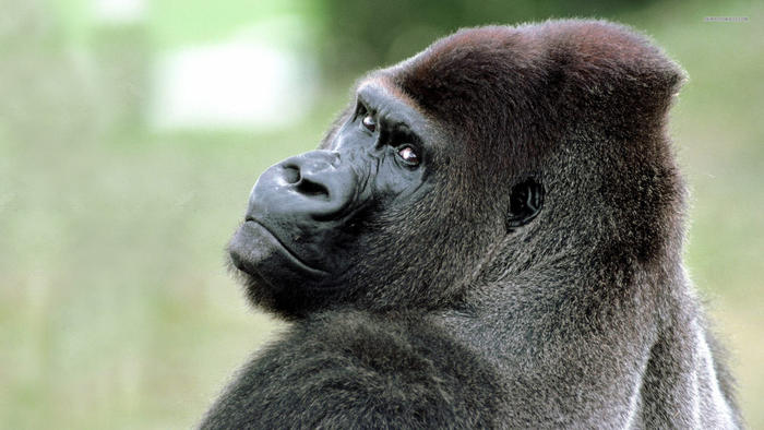 Name:  silverback.jpg