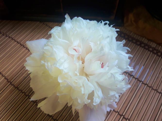 Name:  Peony in Sunlight May 2019.jpg