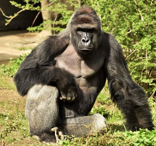 Name:  Gorilla full grown.jpg Views: 33 Size:  67.9 KB